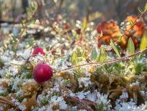 在沼泽的冷淡的蔓越桔 库存照片