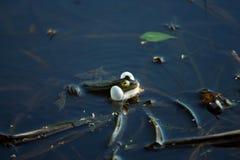 在沼泽的呱呱地叫的青蛙 免版税库存照片