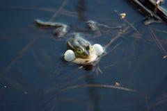 在沼泽的呱呱地叫的青蛙 库存照片
