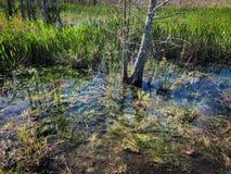 在沼泽的夏天 图库摄影