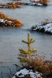 在沼泽的小杉木在冬天 库存图片