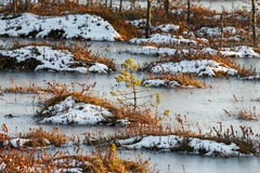 在沼泽的小杉木在冬天 免版税库存照片