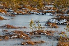在沼泽的小杉木在冬天 库存照片