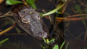 在沼泽的小鳄鱼在Louisianna 免版税库存图片