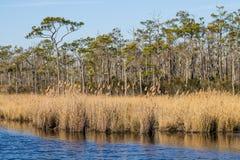 在沼泽的布朗芦苇在马偕海岛 免版税库存照片