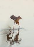 在沼泽的带红色白鹭狩猎 库存照片