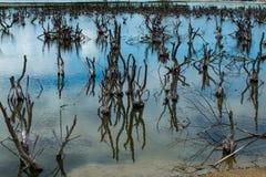 在沼泽的干燥死的树 库存照片