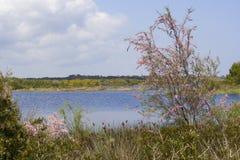 在沼泽的开花的树 库存照片