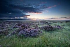 在沼泽的日出有开花的石南花的 免版税图库摄影