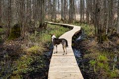 在沼泽的木人行桥 库存图片