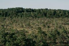 在沼泽的杉树在夏天 Kemeru拉脱维亚 免版税库存照片