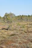 在沼泽的杉树 库存照片