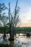 在沼泽的树 库存图片