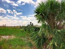 在沼泽的棕榈树 库存照片