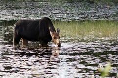 在沼泽的母麋 免版税库存照片