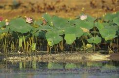 在沼泽的澳大利亚盐水鳄鱼 免版税库存图片