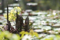 在沼泽的烂掉树桩 库存图片