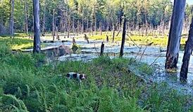 在沼泽的猎浣熊的猎犬 库存图片