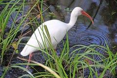 在沼泽的白色朱鹭 免版税库存图片