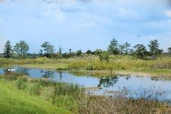 在沼泽的白色鸟飞行 免版税库存图片