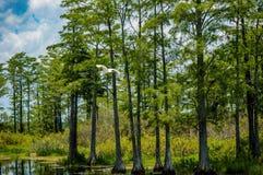 在沼泽的白色鸟飞行 库存图片