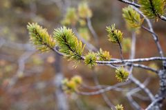 在沼泽的矮小的杉木 免版税库存照片