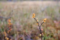 在沼泽的矮小的白杨木 库存照片