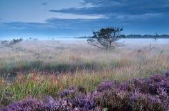 在沼泽的石南花花在有薄雾的早晨 免版税库存照片