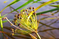 在沼泽的花 免版税库存照片