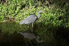 在沼泽的苍鹭与反射在水中 库存照片