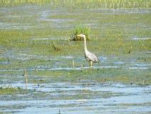 在沼泽的苍鹭鸟 免版税库存照片