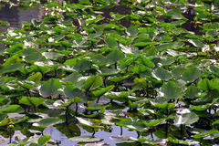 在沼泽的草 图库摄影