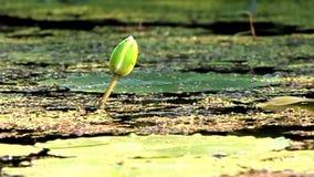 在沼泽的莲花芽 股票视频