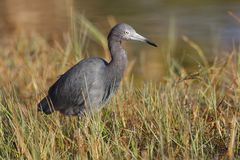 在沼泽的边缘的小的蓝色苍鹭-夏洛特港 flori 库存图片