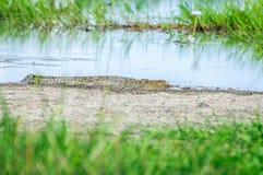 在沼泽的银行的一条幼小盐水鳄鱼在北方领土,澳大利亚 免版税库存图片