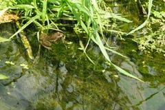 在沼泽的青蛙 免版税图库摄影
