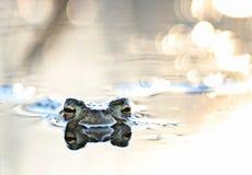 在沼泽的顶头青蛙 库存照片