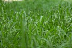 在沼泽的鲜绿色的草 免版税库存图片