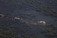 在沼泽的鳄鱼 库存图片