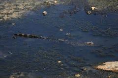 在沼泽的鳄鱼 库存照片
