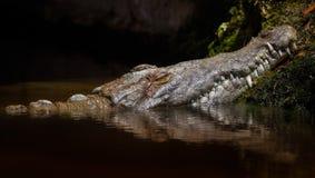 在沼泽的鳄鱼 免版税库存图片