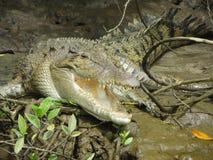 在沼泽的鳄鱼 免版税图库摄影