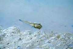 在沼泽的Mudskipper鱼在美洲红树森林 库存图片