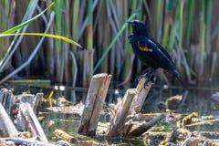 在沼泽芦苇栖息的美洲红翼鸫 库存照片