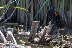 在沼泽芦苇栖息的美洲红翼鸫 库存图片