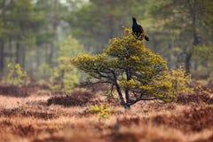 在沼泽草甸的黑松鸡 Lekking好的鸟松鸡,北欧产雷鸟类tetrix,在沼泽地,瑞典 在自然的春天交配季节 免版税库存照片
