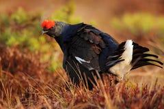 在沼泽草甸的黑松鸡 Lekking好的鸟松鸡,北欧产雷鸟类tetrix,在沼泽地,瑞典 在自然的春天交配季节 图库摄影