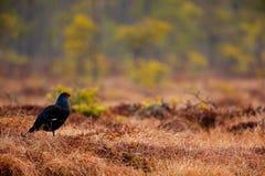 在沼泽草甸的黑松鸡 Lekking好的鸟松鸡,北欧产雷鸟类tetrix,在沼泽地,瑞典 在自然的春天交配季节 库存图片