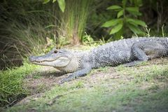在沼泽银行的友好的美国短吻鳄 免版税库存图片