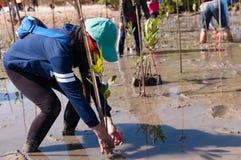 在沼泽附近的萨潘的义务种植年轻美洲红树树 库存图片